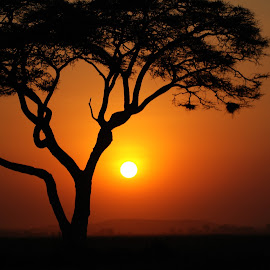 Acacia at sunset in Kenya. by Lorraine Bettex - Nature Up Close Trees & Bushes