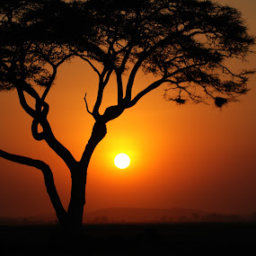 Acacia at sunset in Kenya. by Lorraine Bettex - Nature Up Close Trees & Bushes (  )