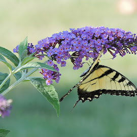 Pastel Butterfly by Melissa Davis - Animals Insects & Spiders ( butterfly, pastel, butterfly bush., buttlerflies, eastern tiger swallow )