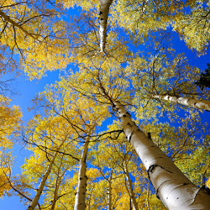 Aspen Canopy.jpg