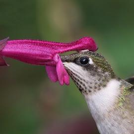 Humming! by Anthony Goldman - Animals Birds ( botanic gardenm, brid, nature, hummingbird, juvenile male, up close, ruby -throat, wildlife,  )