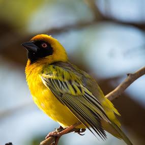 Masked Weaver by Hannes van Rooyen - Animals Birds (  )