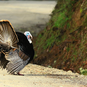 Tom by Todd Ratisseau - Animals Birds ( oregon, showing off for the girls, gobbler, wild turkey,  )
