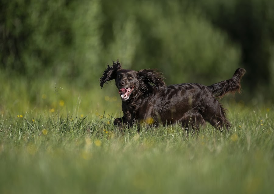 Wachtelhund by Ronnie Bergström - Animals - Dogs Running ( green, wachtel, nature, sunshine, happy, tree, run, wachtel dog, wachtelhund, brown, sun, running, hund, sweden, grass, dogs, dog, landscape )