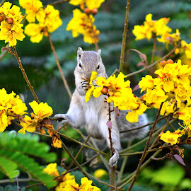 A Squirrel by Rajesh Jabade - Animals Other Mammals ( yellow flowers, squirrel hunting for food, squirrel with yellow flowers, squirrel, food hunt )