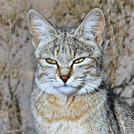 African Wild Cat by Pieter J de Villiers - Animals Other