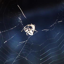 Spider and the Fly by Sarah Harding - Novices Only Wildlife ( novices only, wildlife, web, spider, animal )