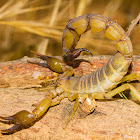 Yellow fat-tail scorpion