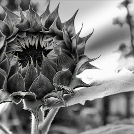 new bloom  by Bruce Newman - Black & White Flowers & Plants ( flowers, detailed, nature up close, black and white,  )