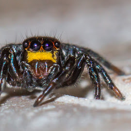 Backyard Visitor by Tony Sullivan - Animals Insects & Spiders ( canon, macro, australia, spider, jumper )