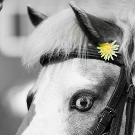 perrywinkle with a dandelion in her ear by Petrina Grimes - Animals Horses ( dandelion, black and white, horse, yellow, flower,  )