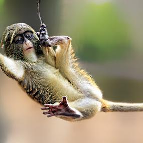 by John Larson - Animals Other Mammals ( m, , animal, monkey )