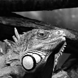 by Rhonda Rossi - Animals Reptiles (  )