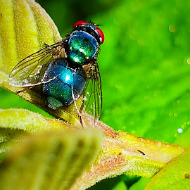 Blue bottle fly  by Hayley Moortele - Animals Insects & Spiders ( #eyes, #blue, #veins, #nature, #insects, #wings, #fly, #green, #closeup )