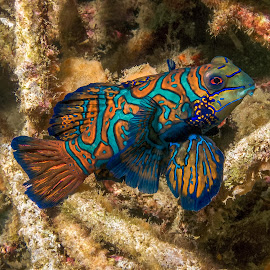 mandarin at dusk by Peter Schoeman - Animals Fish ( goby, fish, mandarin, mandarinfish, dusk dive, shot, close, colourful mandarin fish, macro, nature, isolated, art, white, tail, scuba, diving, small, mandarin fish against coral, splendidus, coral, underwater, colorful, tropical, vivid, splendor, dragonet, wildlife, ocean, fin, beauty, cute, exotic, synchiropus, pose, life, swim, striped, perch, animal, marine, water, reef, green, beautiful, sea, pattern, color, background, synchiropus splendidus, mandarin fish )