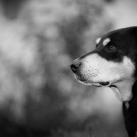 by Peter Marzano - Animals - Dogs Portraits