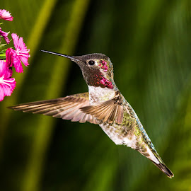 toppin up  by Shane R Fairburn - Animals Birds ( hovering, flying, wings, hummingbird, feathers )