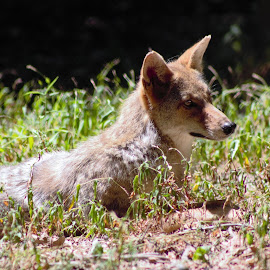 Coyote by Karen Beasley - Animals Other