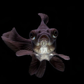 fish by Halim Qomarudin - Animals Fish ( water, macro, nature, fish, close up, animal )