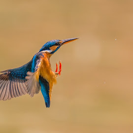 Missed it!  by Abdus Alim - Animals Birds ( bird, flying, kingfisher, wildlife, common kingfisher, nikon, d4, bif, bird in flight )