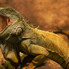 I can Bite. by Muhannad Salem - Animals Reptiles ( sand, wild, desert, life, zoo, mouth, iguana, abudhabi, reptile,  )