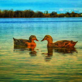 Ducks at sunset by Kathy Dee - Instagram & Mobile iPhone ( water, love, river. animals, sunset, floating, ducks )