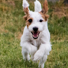 My Own Falkor by Erin Schwartzkopf - Animals - Dogs Running ( jrtca, jack russell, jack russell terrier, terrier, happy dog )
