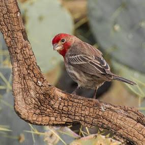 Texas House Finch by Sandy Hurwitz - Animals Birds