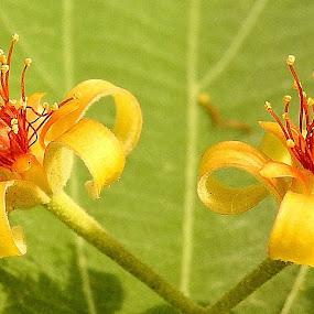 Two blossoms in the wild by Govindarajan Raghavan - Flowers Tree Blossoms (  )