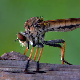 Ronggok by Just Arief - Animals Insects & Spiders ( macro, insect, photography, animal, robber fly )