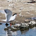 Common Tern; Charrán Común