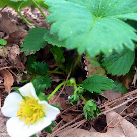 Alaskan Strawberry - 3 years old by Rachel Virginia Hubbard-Miller - Nature Up Close Gardens & Produce