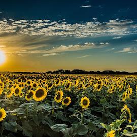 by Darrin Ralph - Flowers Flowers in the Wild ( wild flower, sunflowers, sunset, field flower, wildflower, sunflower )