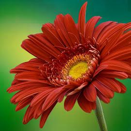 by Eseker RI - Flowers Single Flower