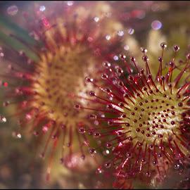 rosnatka by Jana Vondráčková - Flowers Flowers in the Wild