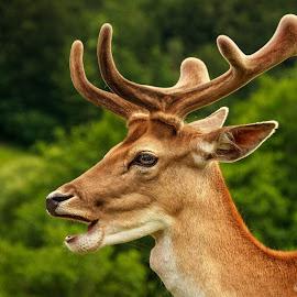 Deer portrait by Matic Žižek - Animals Other Mammals