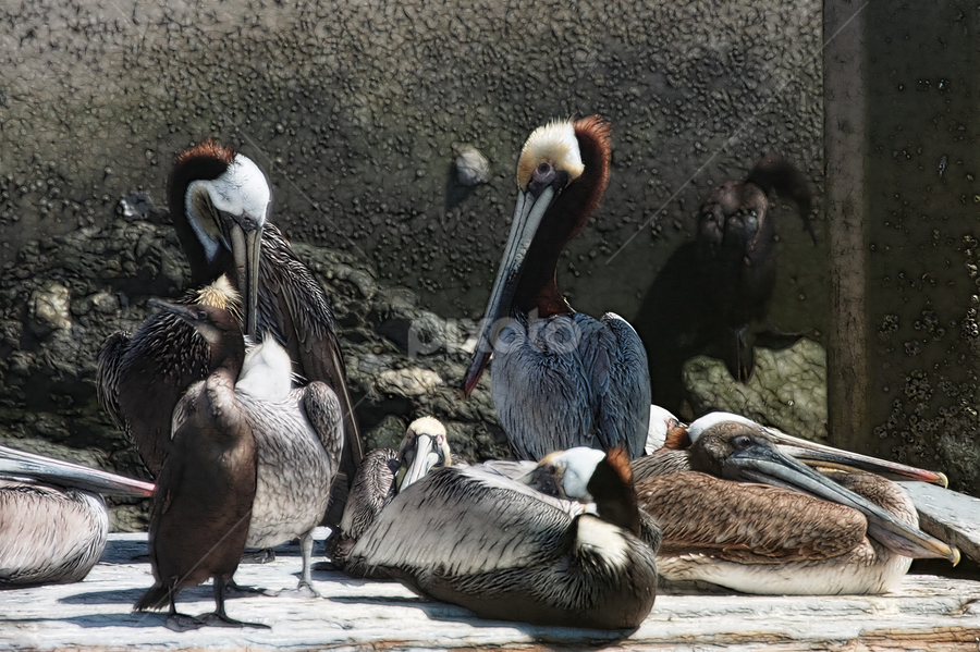 The Gang by Zsuzsanna Szugyi - Digital Art Things ( bird, sea, pelican )