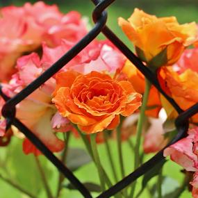 Center Orange Rose by Terry Linton - Flowers Single Flower (  )