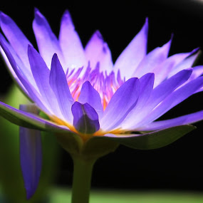 Purple lily by Vijay Diksit - Nature Up Close Flowers - 2011-2013