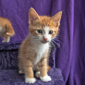 Ginger cuteness by Jess van Putten - Animals - Cats Kittens ( cat, kitten, ginger, kitty, animal )