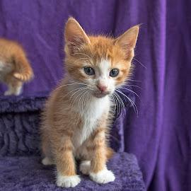 Ginger cuteness by Jess van Putten - Animals - Cats Kittens ( cat, kitten, ginger, kitty, animal,  )