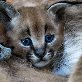 by Renos Hadjikyriacou - Animals - Cats Kittens (  )