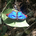 orsis-bluewing