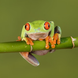 Red eyed tree frog by Alan Tunnicliffe - Animals Amphibians ( hanging, perched, bamboo, red-eyed tree, frog, amphibian, staring forward, reptile )