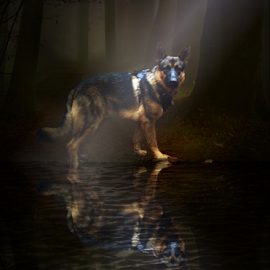 Stepping out  by Dawn Vance - Digital Art Animals ( water, moon, digital art, night, german shepherd, dog, light, sable )
