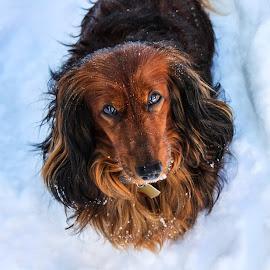 Reggie by Zach Boudreaux - Animals - Dogs Portraits ( snowstorm, beautiful, snow, dog, eyes )