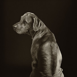 Fogo II by Anita Meis - Animals - Dogs Portraits ( ridgeback, sepia, rhodesian ridgeback, african, low key, black and white, male, dog, rhodesian, lion dog, portrait )