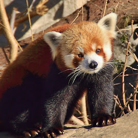 Red Panda by Margie Troyer - Animals Other Mammals
