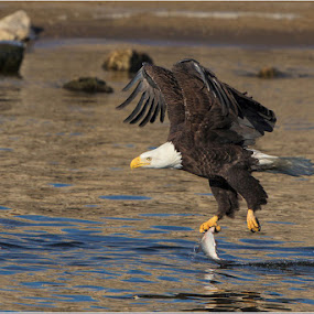 Adult Bald Eagle Gets a fish.... by Jamie Link - Animals Birds