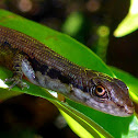 Pale-lipped Shade Skink